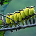 Lemon-browed Flycatchers Roosting by Christine Miller