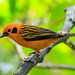 Golden Tanager  by Christine Miller