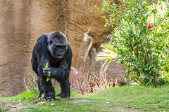 Western lowland gorilla - Los Angeles Zoo