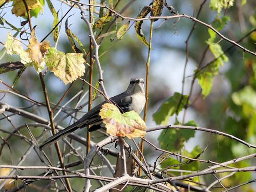 He found me Northern Mockingbird (Mimus polyglottos) at Gatorland