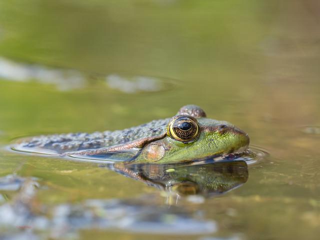 65 marsh frog - Best2017