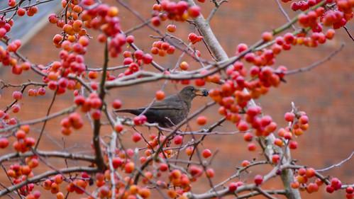 Female blackbird after tiny crab apples