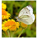 Cabbage White. 14
