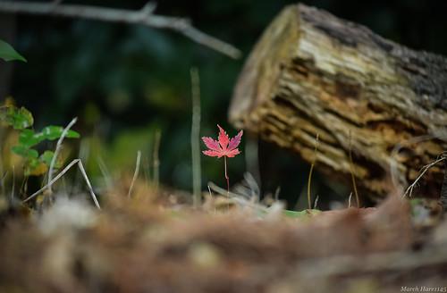 ヒトヒラモミジ / A one piece of autumn leaves.