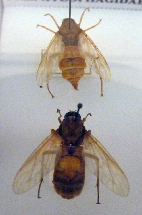Coenomyia ferruginea 39354581032_5cc93cb681_o