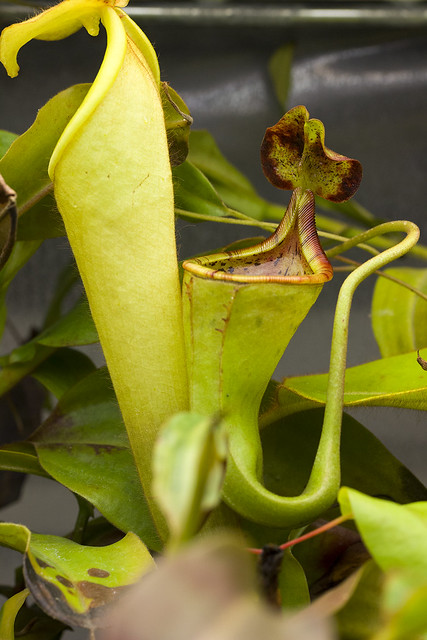 Nepenthes chaniana and eymae x ephippiata