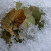Ingesneeuwde hortensia/Snowbound hydrangea
