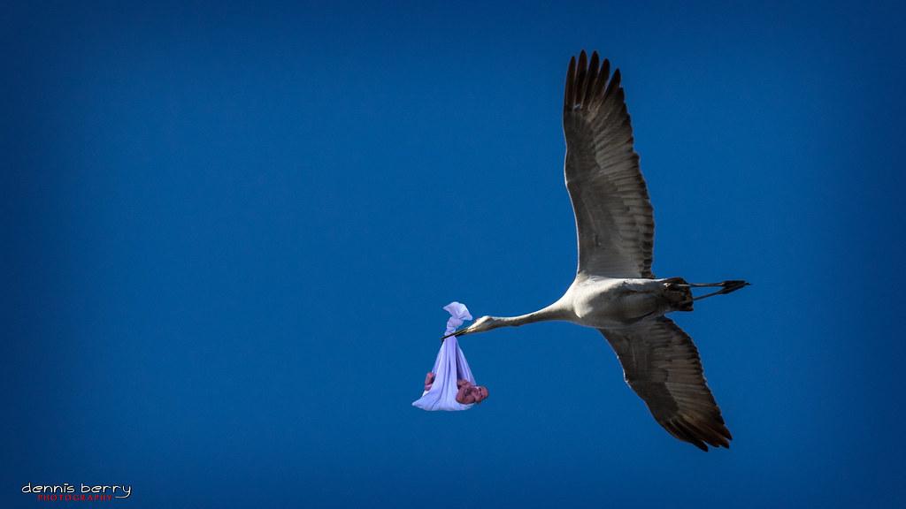 Sandhill Stork Over Gray Lodge