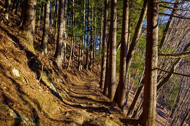 序盤の杉林の道