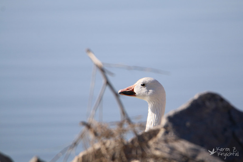 IMG_0607SnowGoose