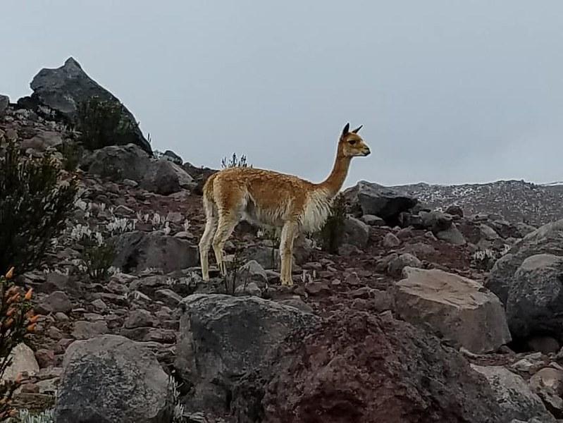 Chimborazo • Vicuña, Mix of Alpaca and Llama
