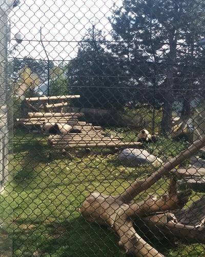 Er Shun, Jia Panpan, Jia Yueyue (8) #toronto #torontozoo #pandas #giantpandaexperience #ershun #jiapanpan #jiayueyue #bamboo #latergram