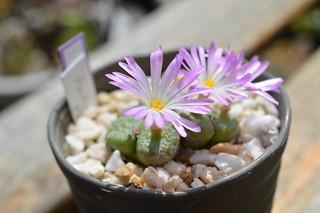 "DSC_6272 Conophytum fulleri ""Pella"" コノフィツム フレーリー ペラ"