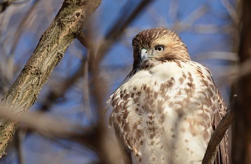 brilliant birds birdsofprey raptors hawks hawkredtailed redtailedhawk nikon nikond7100 tamronsp150600mmf563divc jdawildlife johnny portrait closeup eyecontact whatbirdbestofday wow gorgeous