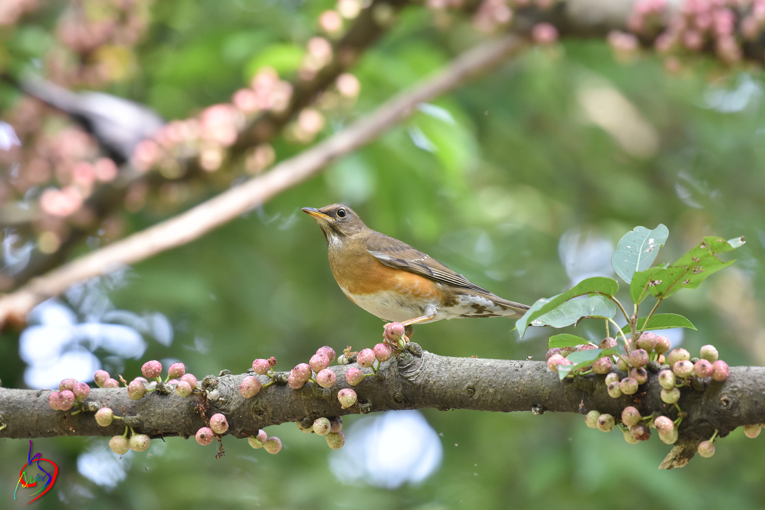 Brown-headed_Thrush_4922