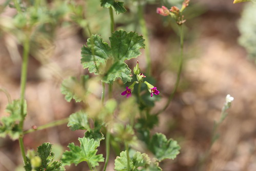 Pelargonium grossularioides in habitat