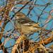 Morning Northern Mockingbird (Mimus polyglottos)
