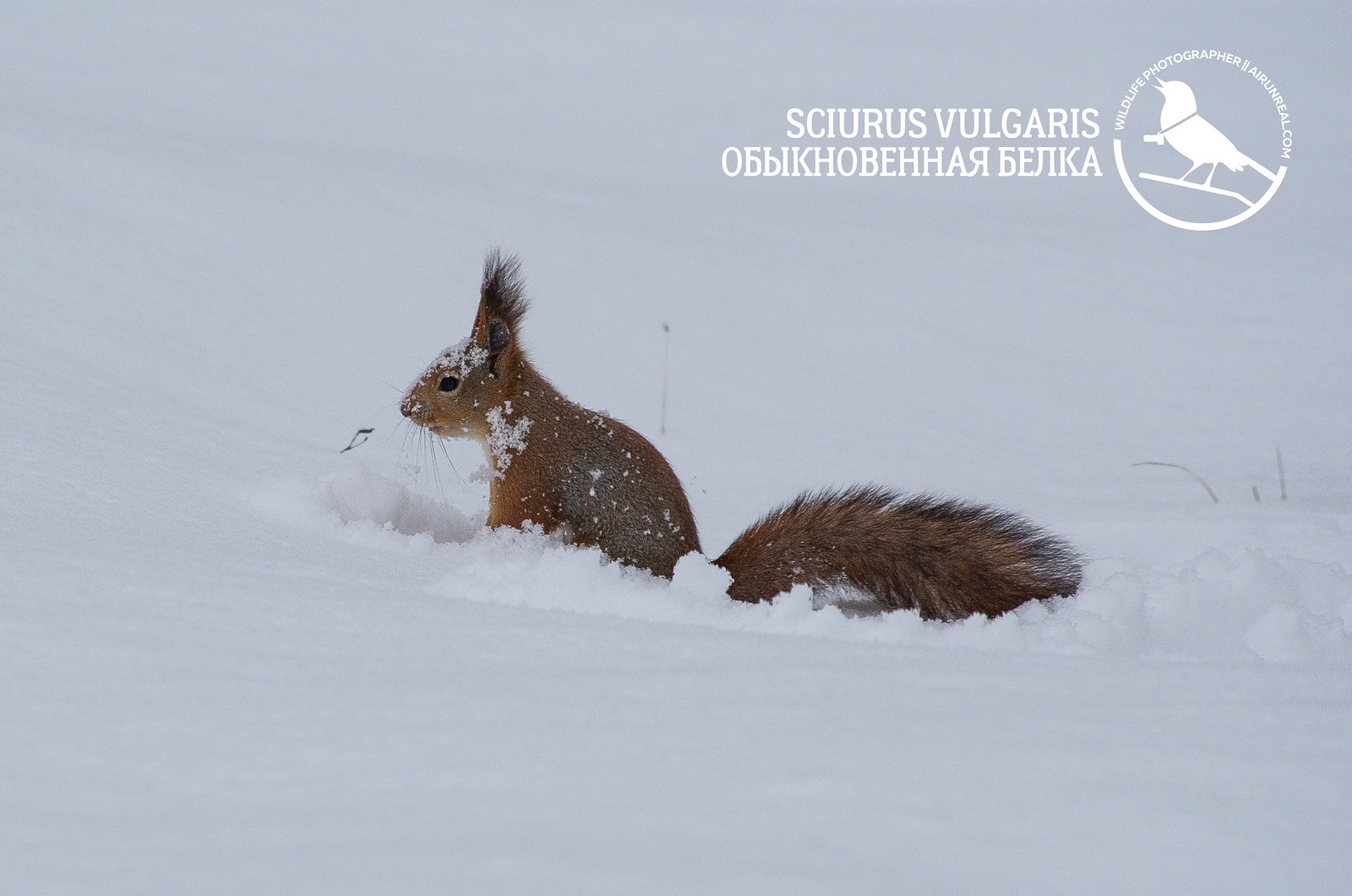 Sciurus vulgaris // 20180104