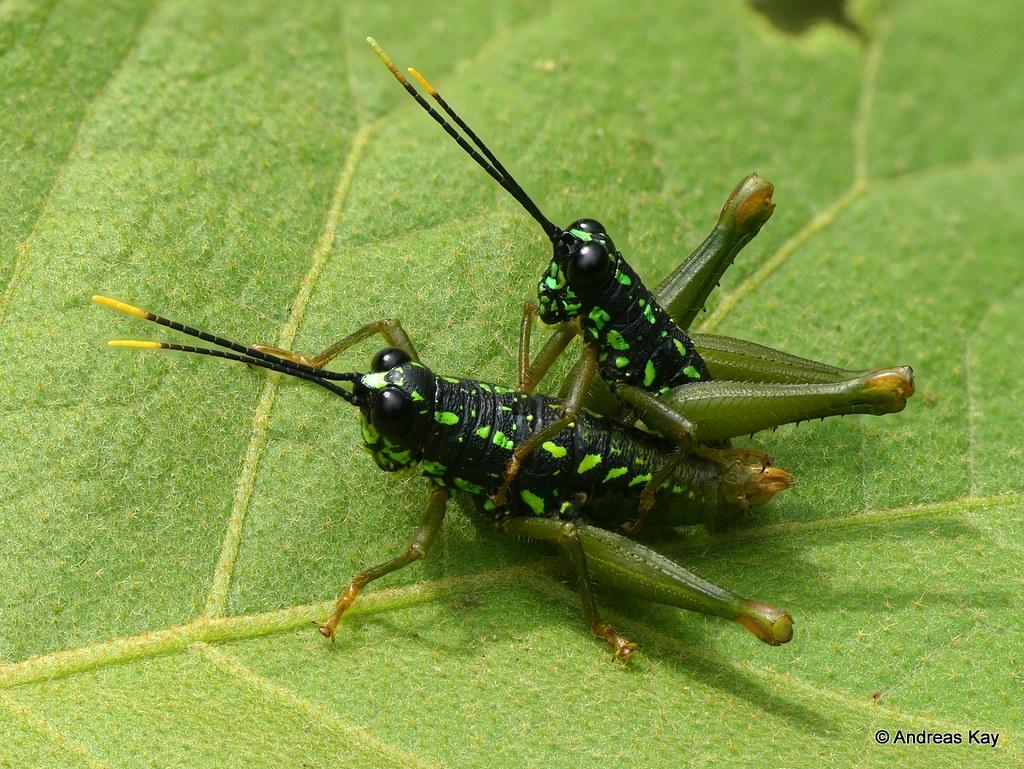 Grasshoppers mating, Galidacris sp.