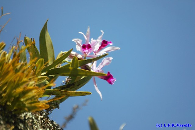 Laelia purpurata in situ