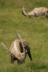 Capra nubiana - Nubian Ibex