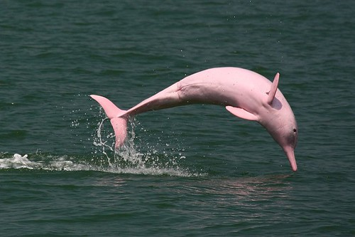 Pink-Amazon-River-Dolphin-Pictures