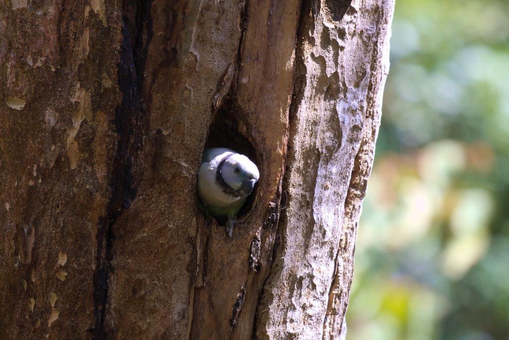 Malabar Parakeet nest