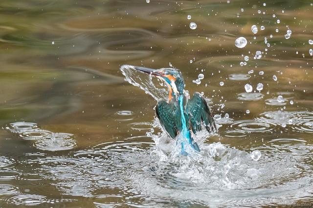 20171224-kingfisher-DSC_1905