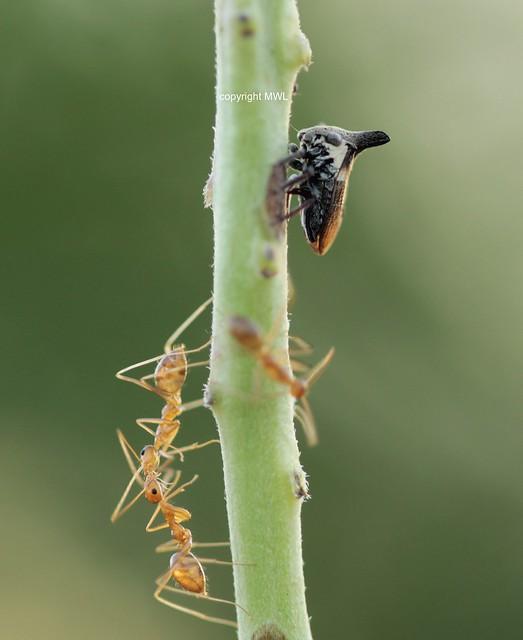 Sukhothai Membracidae (Buckelzikade) with ants