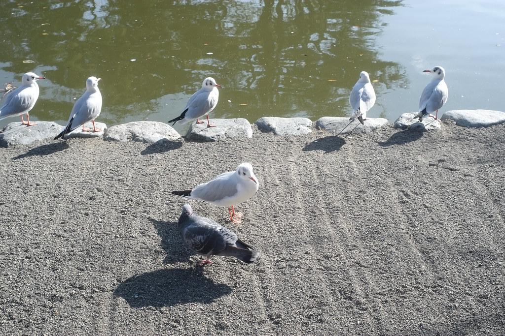 Pigeon and Seaguls, Hachimangu, Kamakura