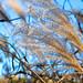 High Grass with Blue Sky