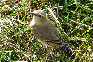Wheatear, Hampshire, England