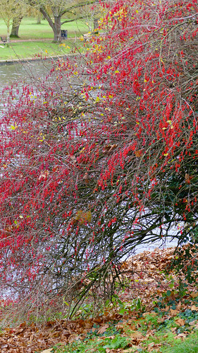 Red berries by the River Avon