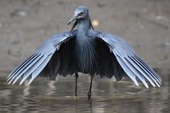 A Black Egret, Kotu Creek, Gambia