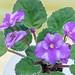 非洲紫羅蘭 Saintpaulia Ko's Favorite   [香港北區花鳥蟲魚展 North District Flower Show, Hong Kong]