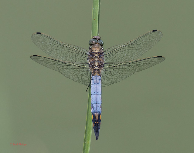 41 black tailed skimmer - Best2017