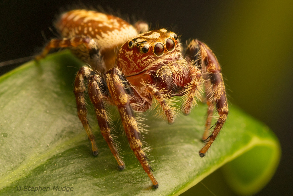 Jumping spider (Opisthoncus sp.)