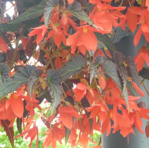 Begonia boliviensis 27669180549_7bbcbf5b5f_o