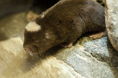 Cryptomys damarensis - Damaraland Mole-rat