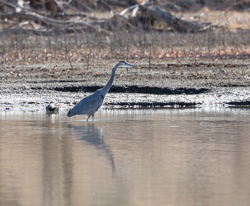 blue_heron_fishing-20171227-100-2
