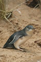 Eudyptula minor - Little Penguin