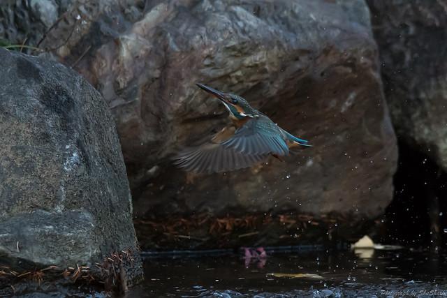 20171229-kingfisher-DSC_2790