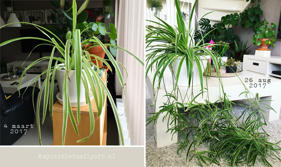 Urban Jungle (Spiderplant)