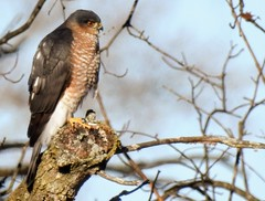 Sharp-shinned hawk, Beltsville Agricultural Research Center