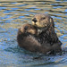 Sea Otter (Enhydra lutris) with Pup in Morro Bay, Ca 2017 by Atascaderocoachsam