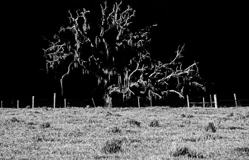 ruralflorida rural dead lonetree tree floridalandscape landscape