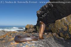 Cape cobra Naja nivea