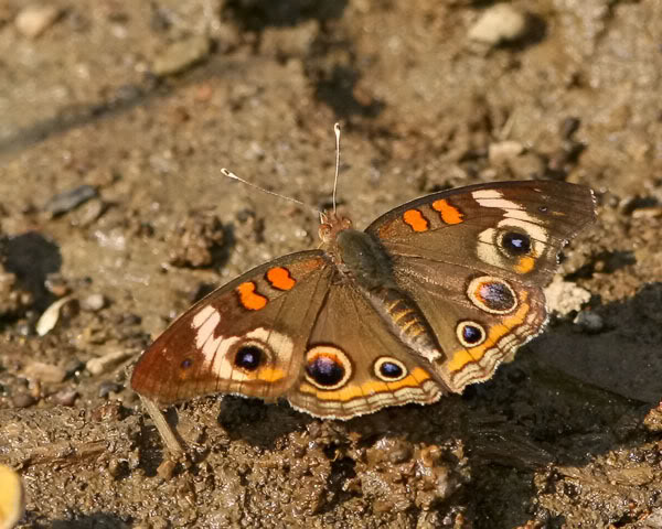 CommonBuckeye