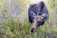 Moose, Grand Teton