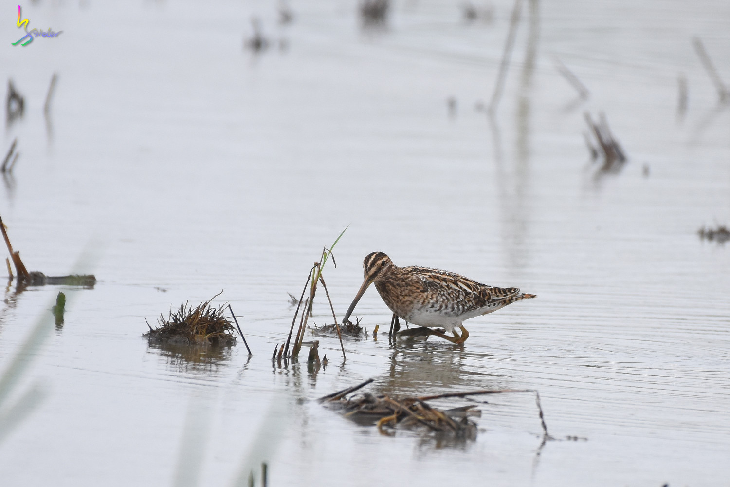 Common_Snipe_9270